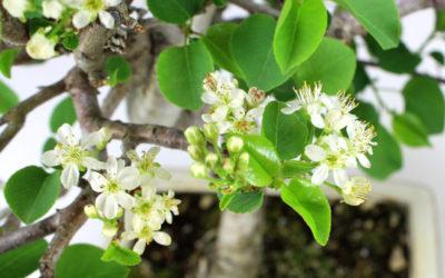 Visitas a la exposición de bonsáis